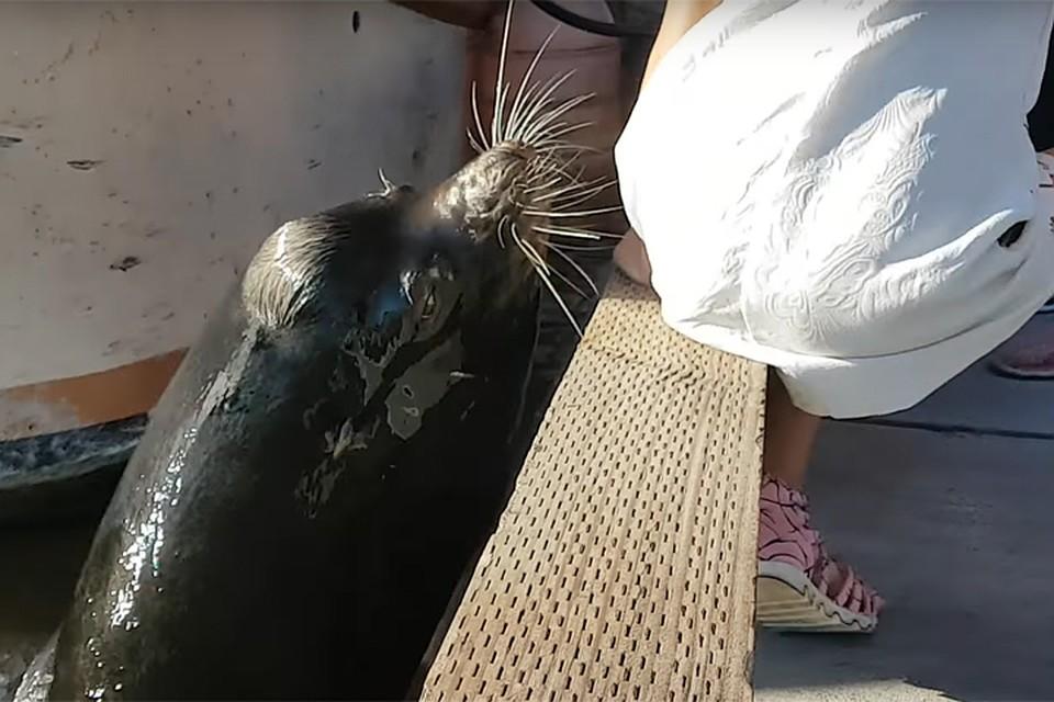 Вглобальной сети появилось видео, как морской лев утащил под воду девочку
