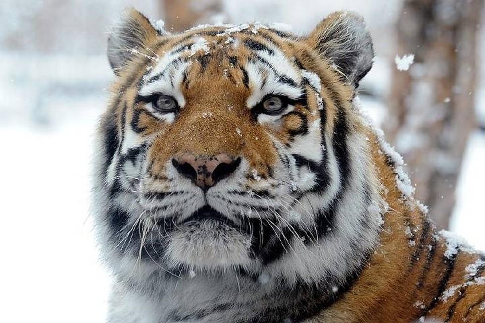 ВПриморье осудили мужчину, который перевозил кости амурского тигра