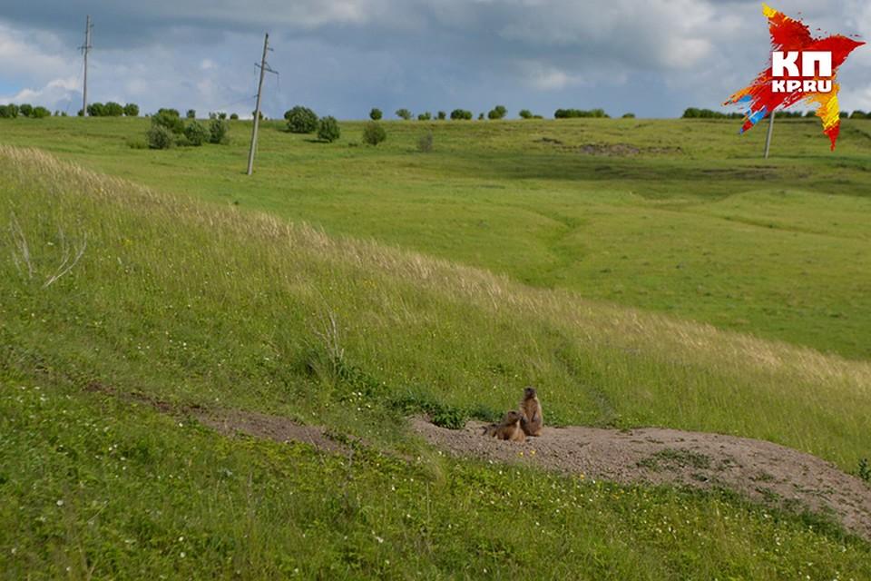 ВНижегородской области нашлись 5 новых поселений степных сурков
