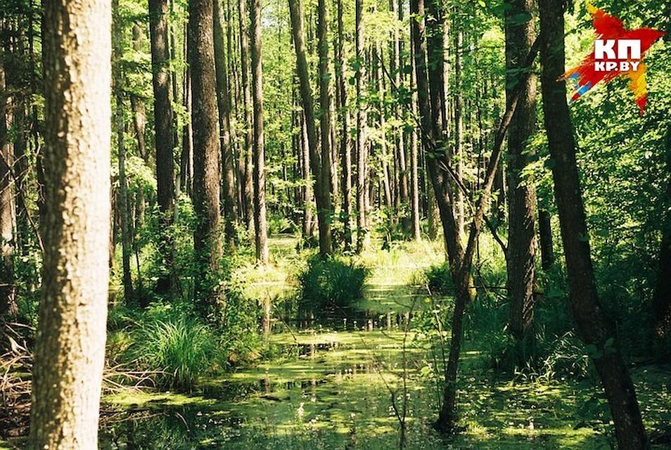 СудЕС запретил Польши ссегодняшнего дня рубить деревья вБеловежской Пуще