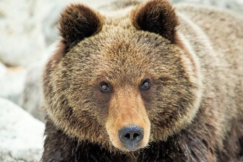Медведь задрал насмерть геолога вИркутской области