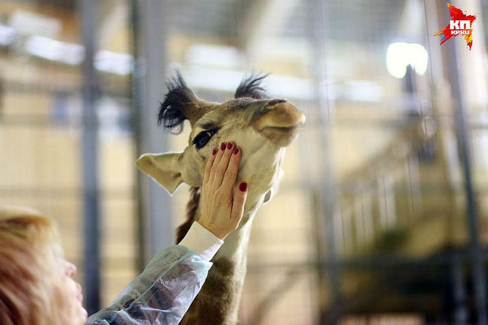 Жирафе Принцессе из«Роева ручья» сделали операцию накопытцах
