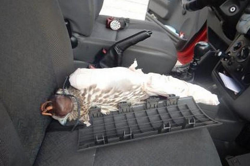 Гражданин  Украины пытался вывезти изКрыма краснокнижного кречета