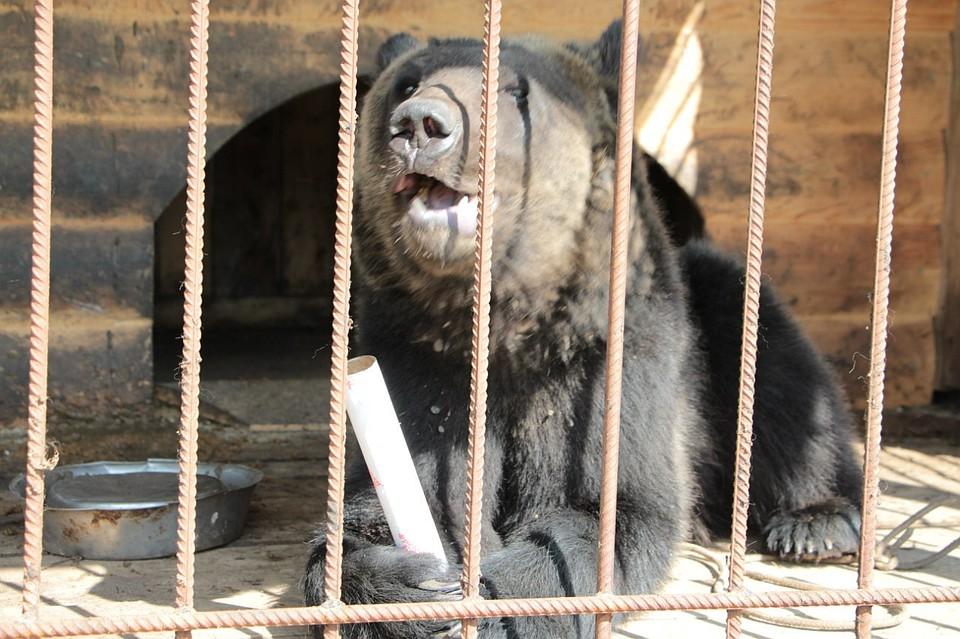 Под Воронежом медведь убежал иззоопарка иубил пенсионера