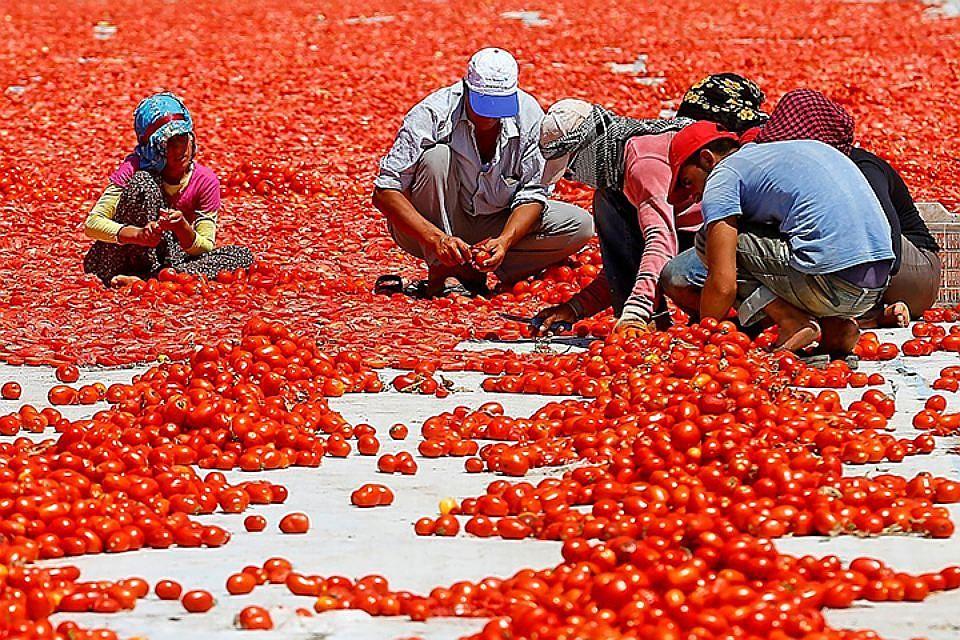 «Важно недопустить реализацию турецких томатов ввиде кубанских»— Вениамин Кондратьев