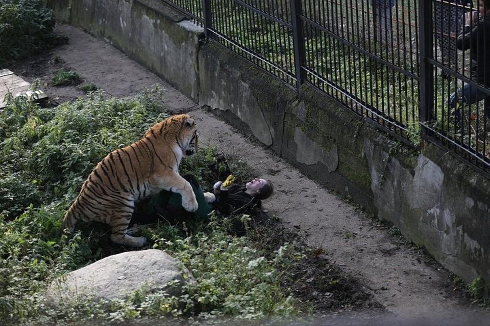 ВКалининградском зоопарке амурский тигр напал насотрудницу