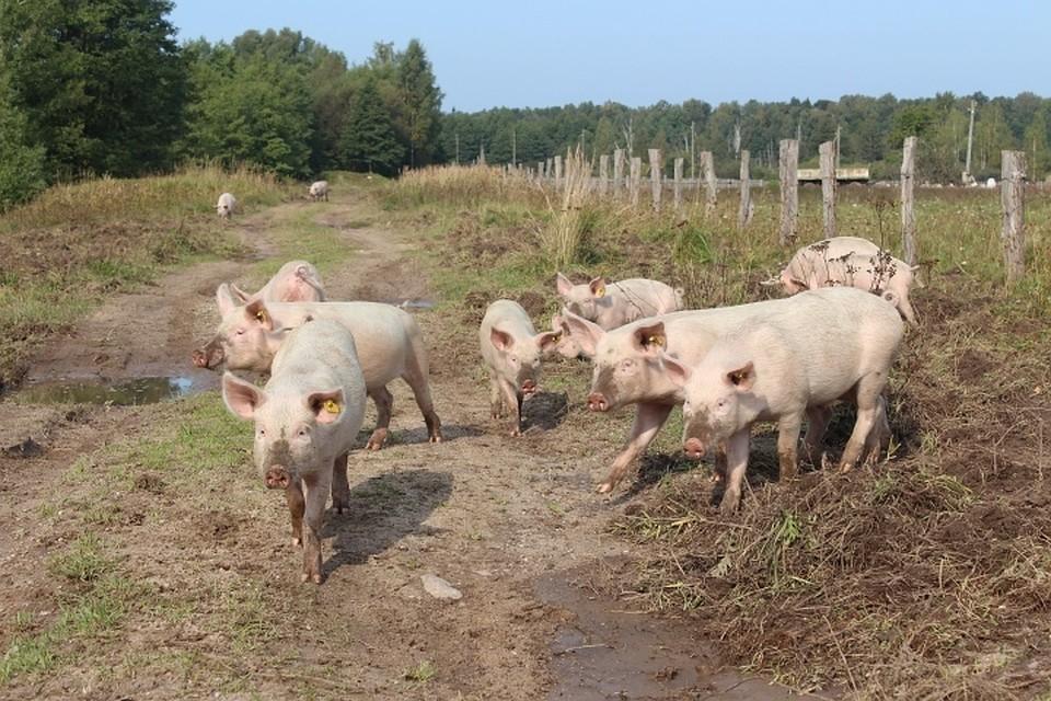 ВКалининградской области выявлен вирус африканской чумы свиней