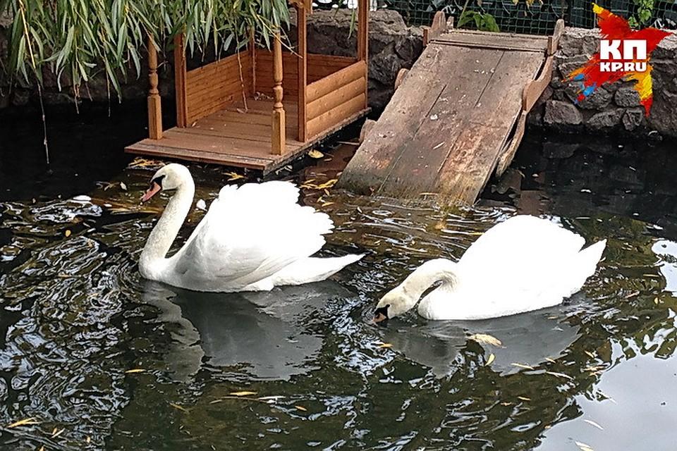 Лебединая пара поселилась назимовку вВоронежский зоопарк