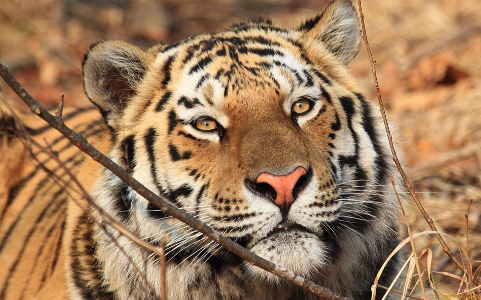 ВБикинском районе Хабаровского края отловили еще одного тигра