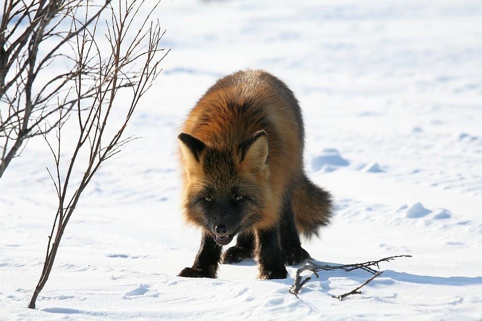 ВИшимском районе первопричиной карантина стала бешеная лисица