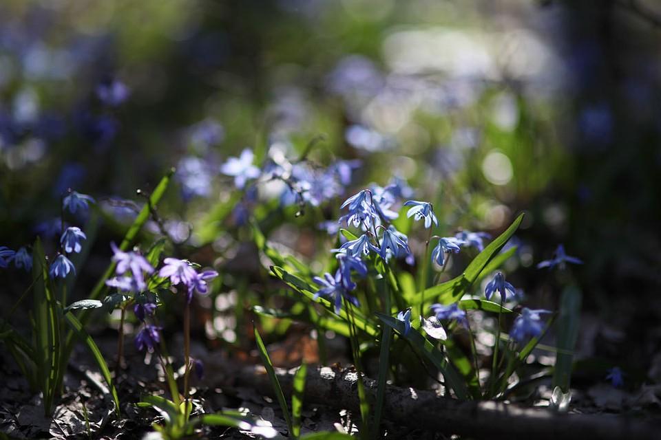 Егери Ставропольского края начали рейды поохране черемши ипервоцветов