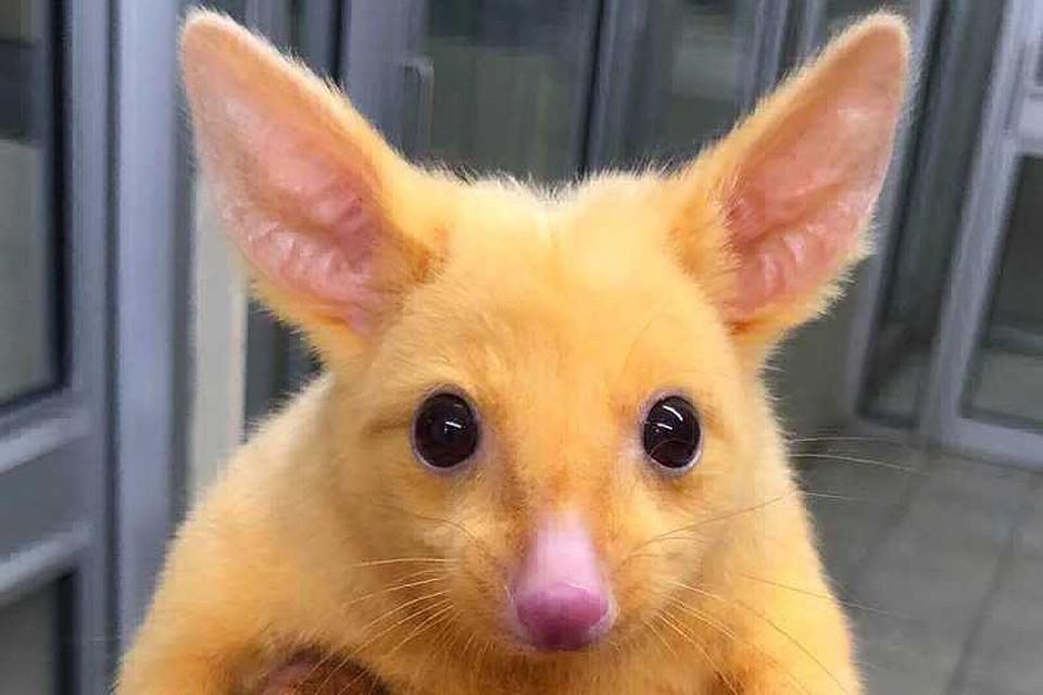 ВАвстралии отыскали поссума-мутанта, схожего наПикачу