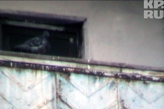 В квартире людоеда поселилась стая голубей.