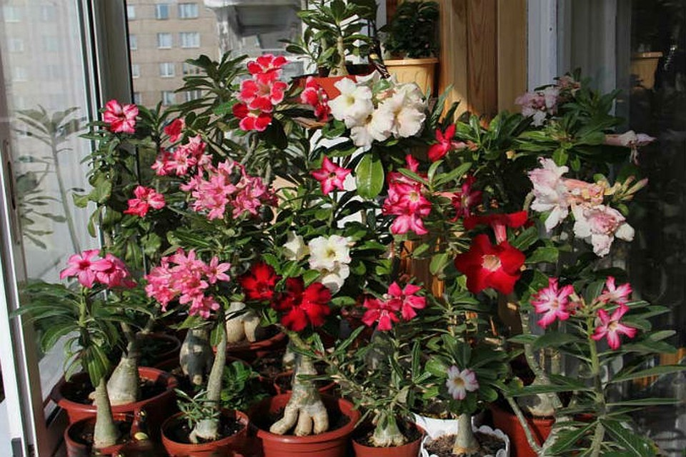 Цветок адениум уход в домашних условиях 105