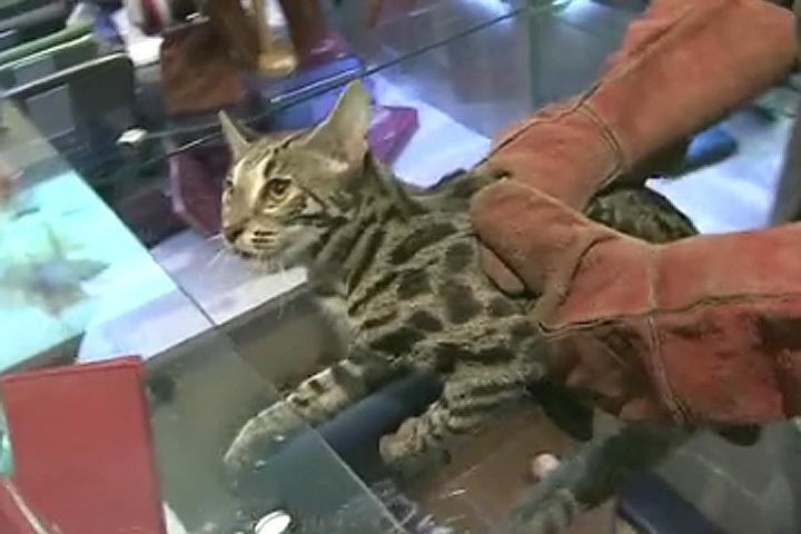 Котик устроил настоящий погром в бутике аэропорта. Фото: кадр видео, Первый канал