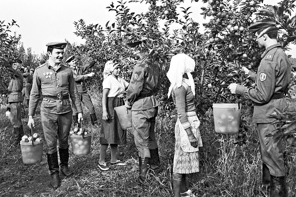 Не службой единой - на этом добром снимке 1983 года участники учений штабов, войск и сил флотов Объединенных сил государств - членов Варшавского Договора «Щит-82» помогают болгарским колхозницам собирать яблочный урожай.