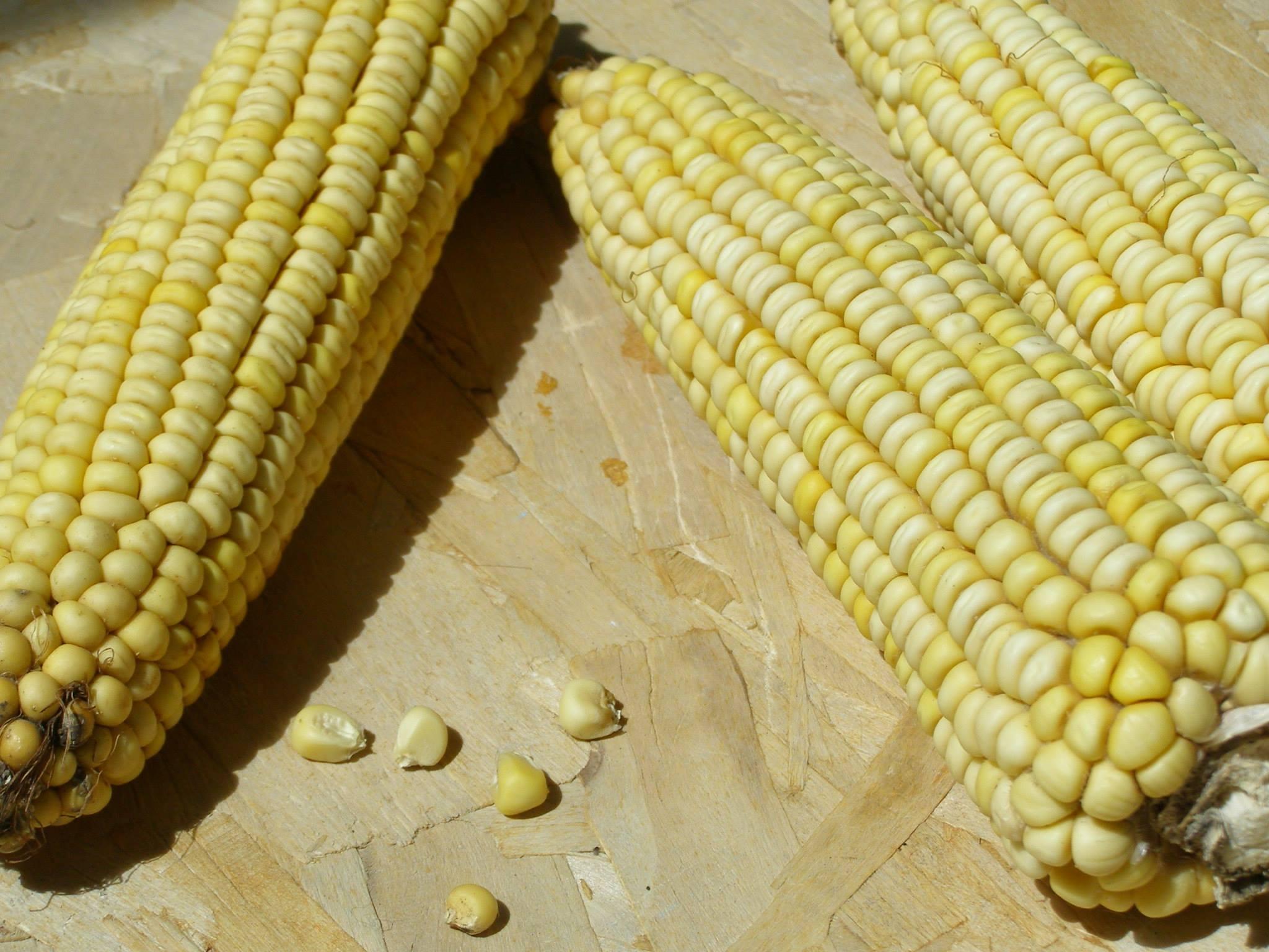 Как получить семена кукурузы в домашних условиях: отбор, сбор, хранение 38