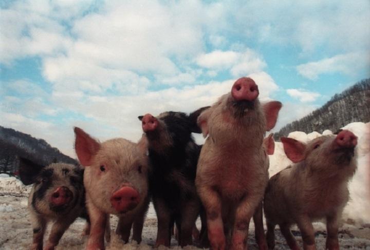Очаг африканской чумы свиней найден вЧувашии