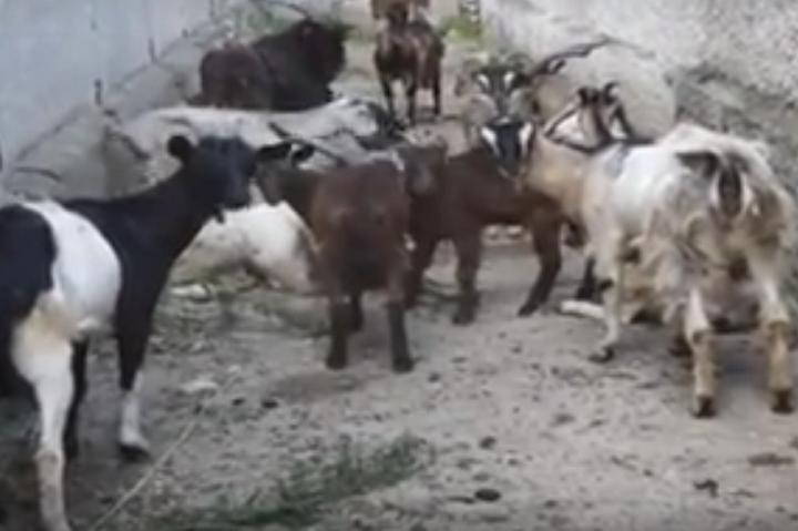 ВКаушанах арестовали стадо коз