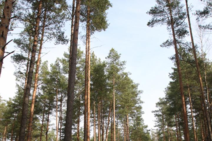 Инспектор поохране леса нелегально срубил 181 сосну и4 берёзы