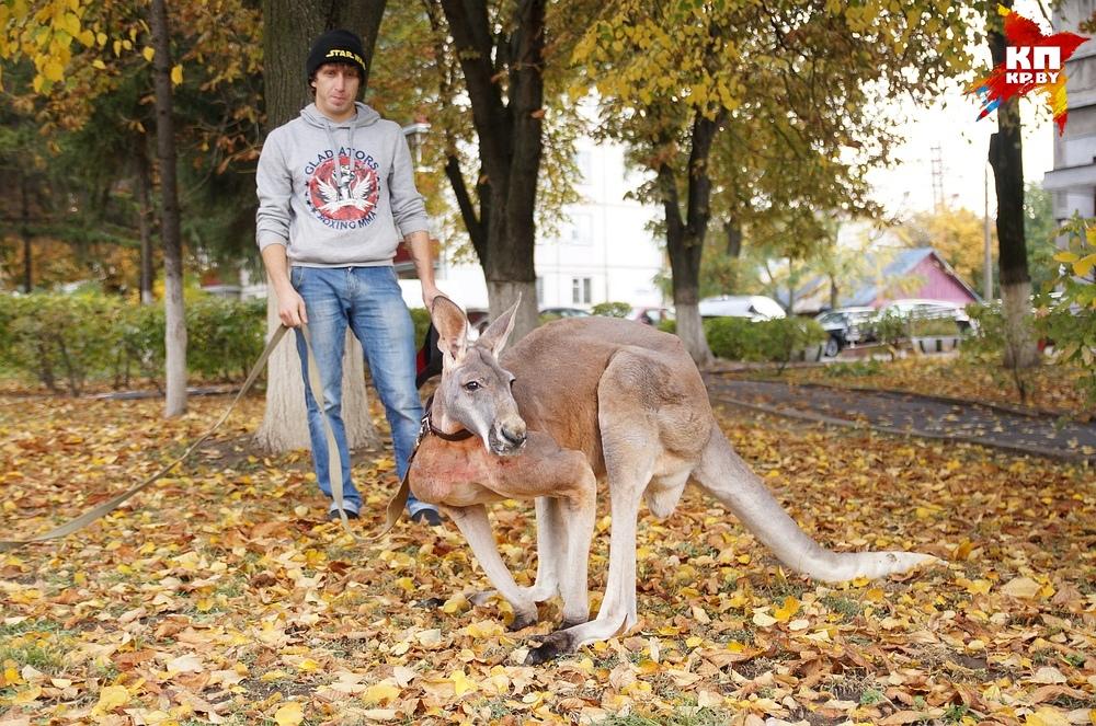 В центре Гомеля выгуливали... кенгуру