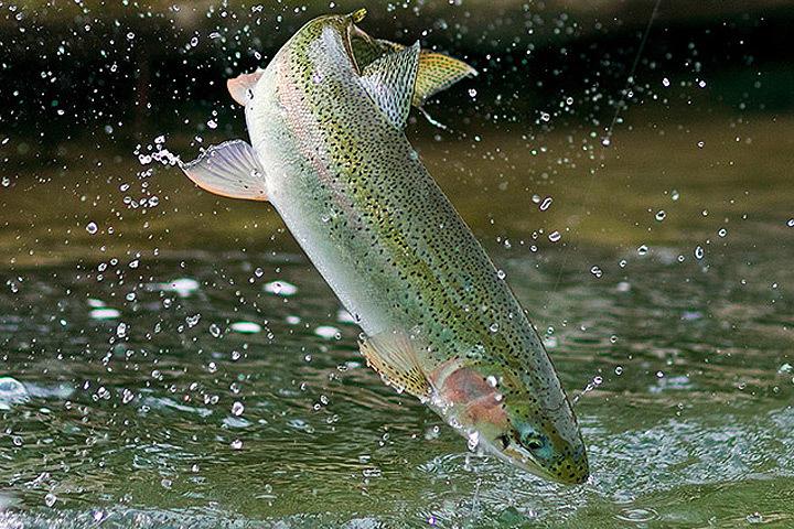 В Дании ловят случайно выпущенную на волю радужную форель. Фото: с сайта americanfishing.ru