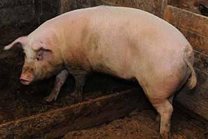 ВВолгоградскую область вернулась африканская чума свиней
