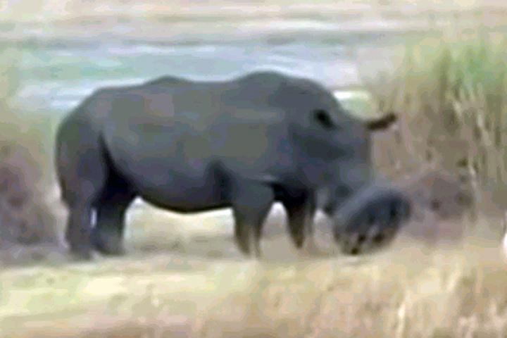 Носорог попал мордой в автомобильную покрышку и не смог освободиться без посторонней помощи.