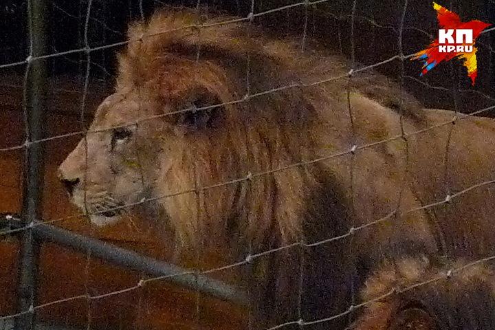 3-х летнего льва изПензы готовятся встретить взоопарке Воронежа