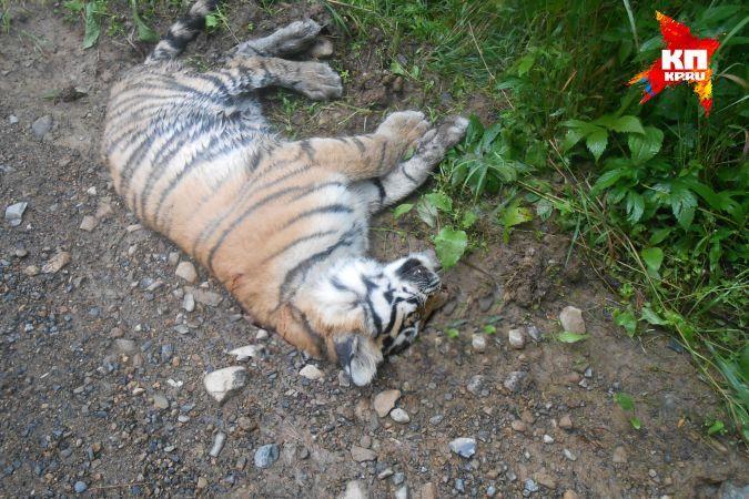 Пропавший тигренок изцирка Багдасаровых нашелся вСочи