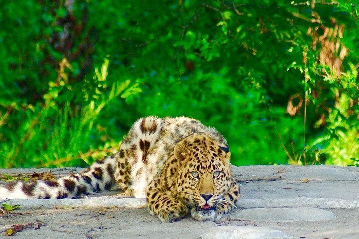 Фильм Леопард На Снегу