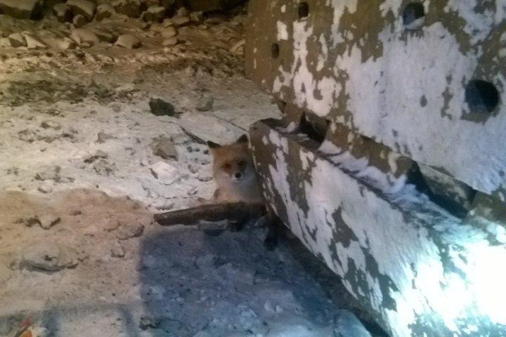 ВКузбассе лисы идут излеса запомощью клюдям