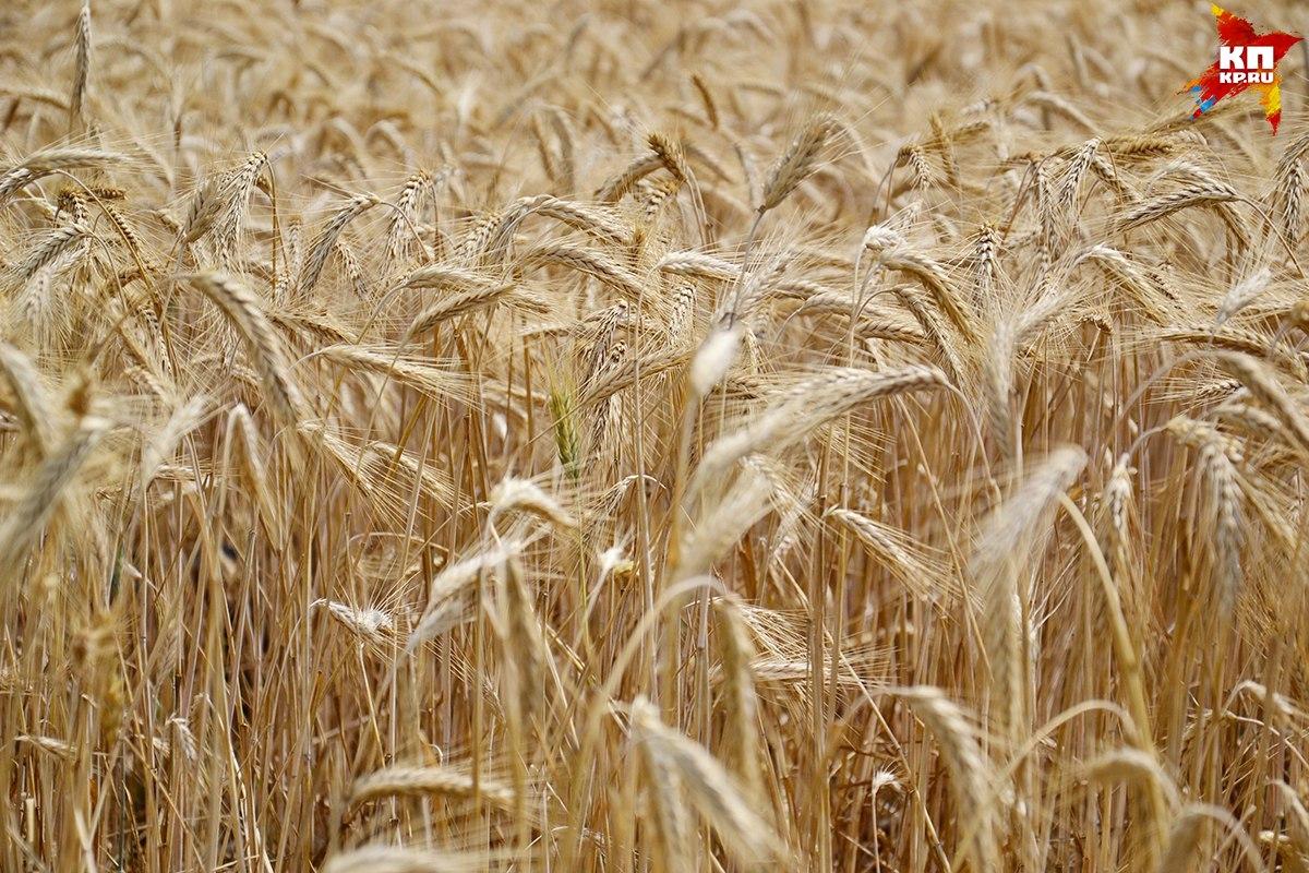 Валовой сбор зерна вУкраинском государстве превысил 60 млн тонн зерна