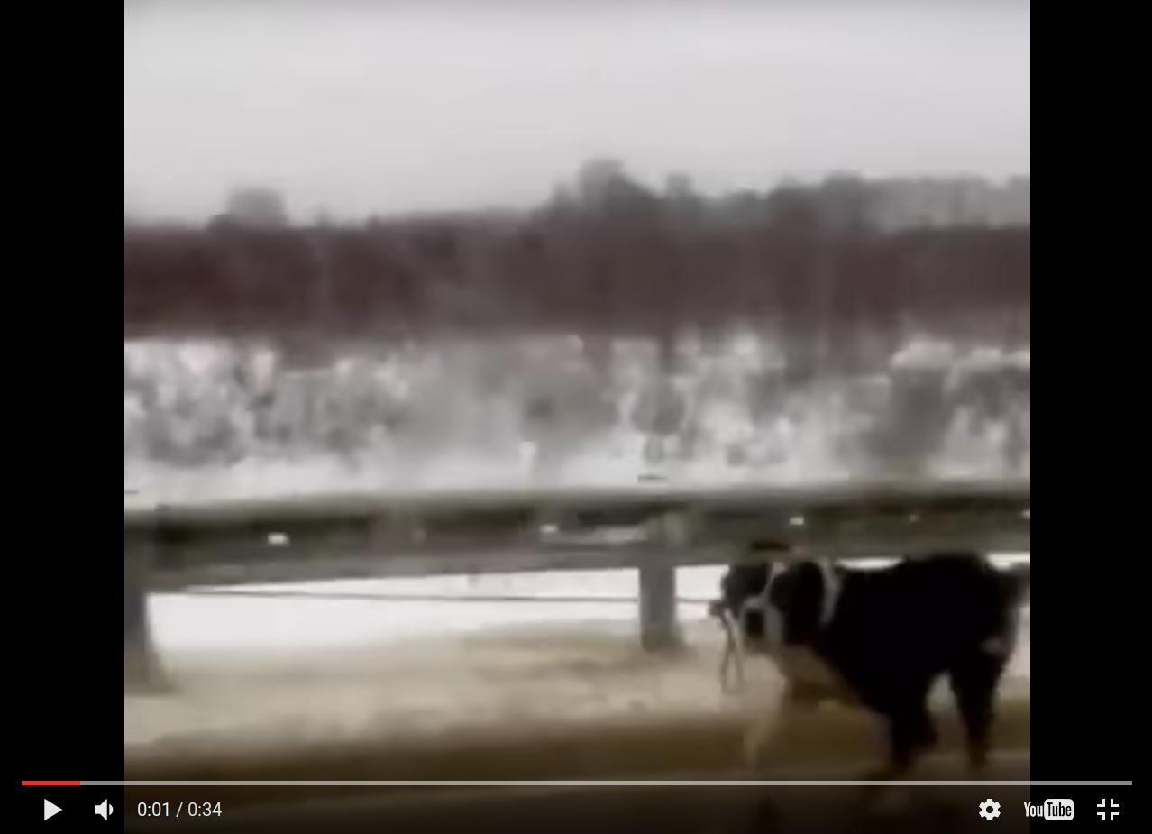 Живодёры привязали собаку кмашине итащили засобой