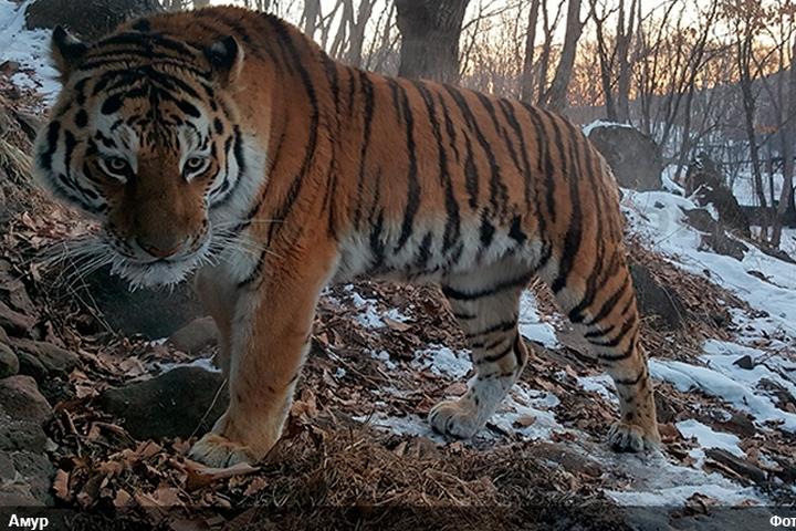 ВПриморье полицейские расследуют дело онезаконном убийстве амурского тигра