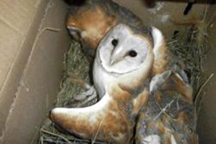 Молдаванин попытался провезти в РФ четырех сов вкартонной коробке 25
