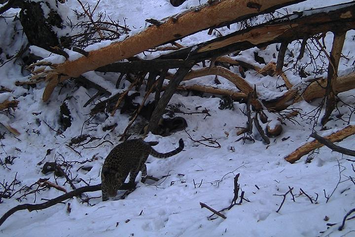 ВКавказском заповеднике самка переднеазиатского леопарда Виктория угодила вфотоловушку