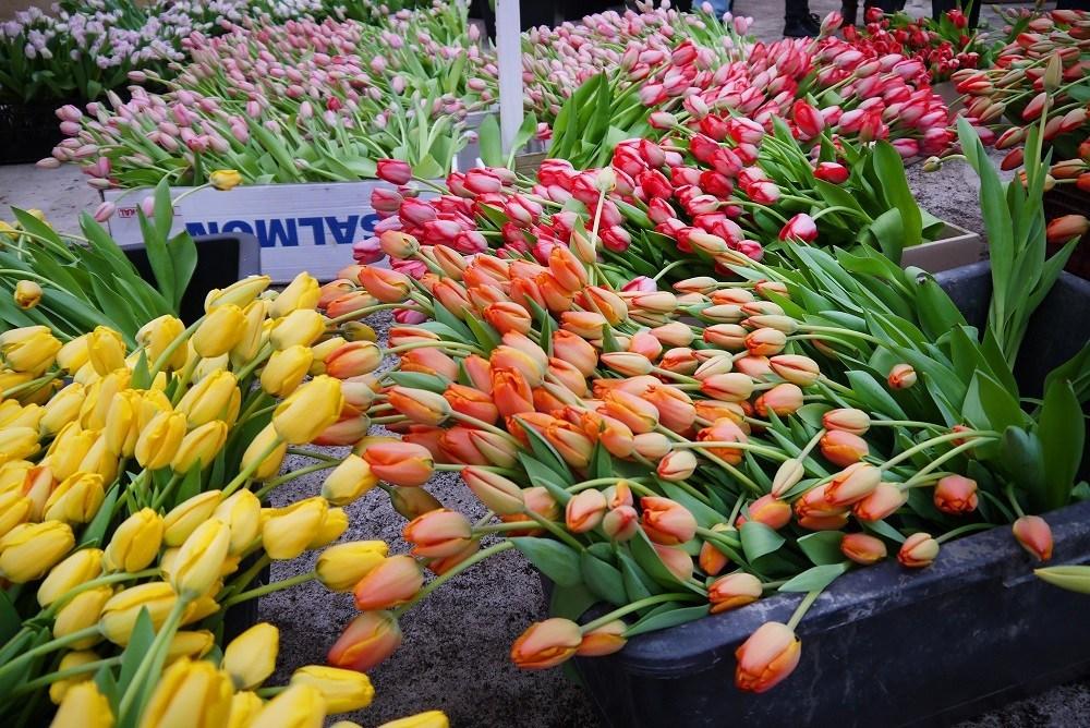 Более семи миллионов тюльпанов выращено вКалининградской области к8марта