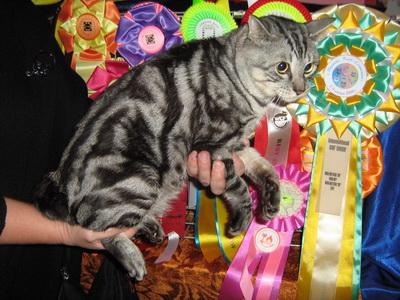 Интерклуб любителей кошек котофей в санкт-петербурге ведет свою историю с 1985 года