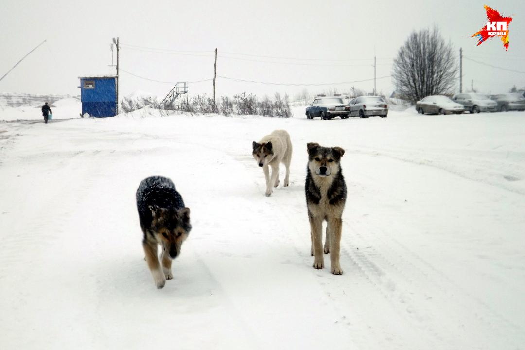 Тут много собак, и все они домашние и выполняют свое предназначение - охраняют человеческие владения. Фото: Василий ХОДАРЕВ