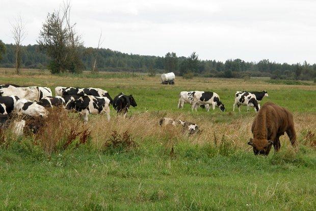 Зубр прибился кстаду коров вКобринском районе