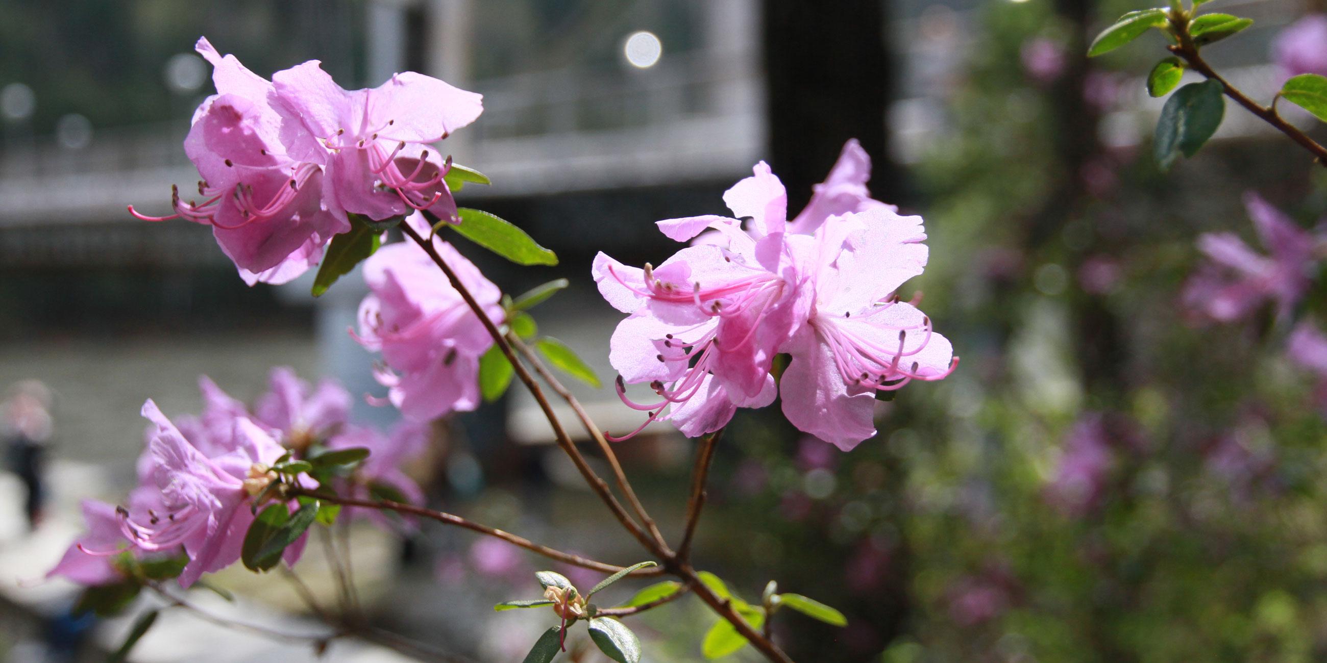 В мае цветение маральника открывает туристический сезон на АлтаеФото: Олег Укладов,