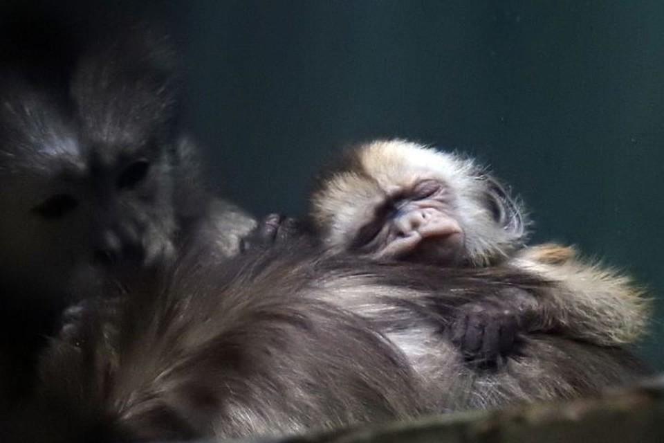 Родились два маленьких капуцина, очень милые обезьянки. Фото: ГАУ «Московский зоопарк»