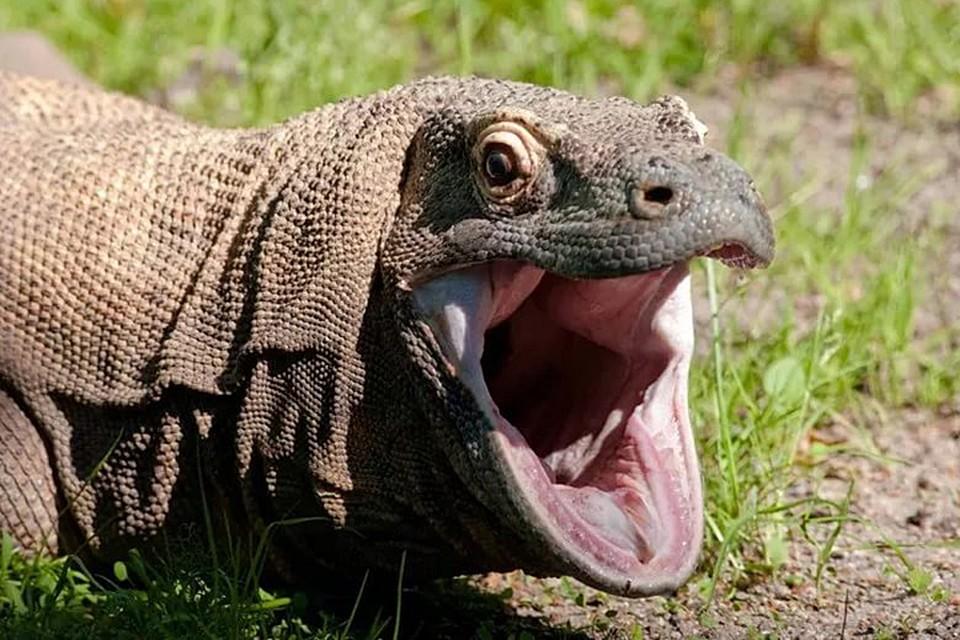 Вараны - действительно крайне опасные рептилии