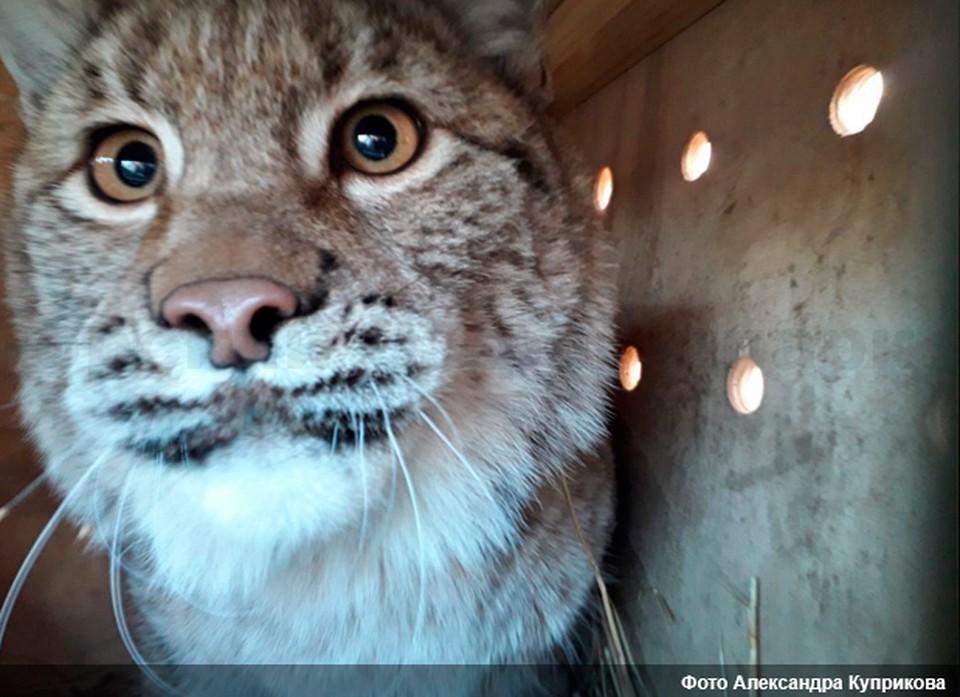 Рысь - один из самых агрессивных представителей семейства кошачьих