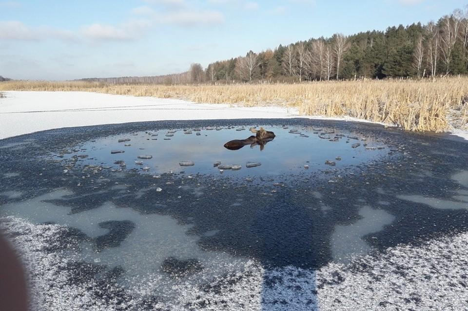 В Чернобыльской зоне под Брагином милиционеры спасли лося, провалившегося под лед. Фото: УВД Гомельского облисполкома
