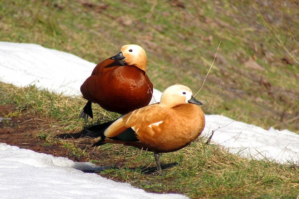 Утки член которых в 23 раза больше самих уток