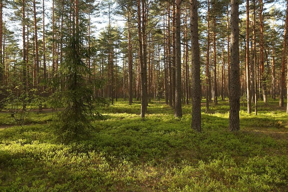 МЧС утверждает, что гулять по лесу все-таки можно. Но вот пресс-служба администрации Ленобласти другого мнения