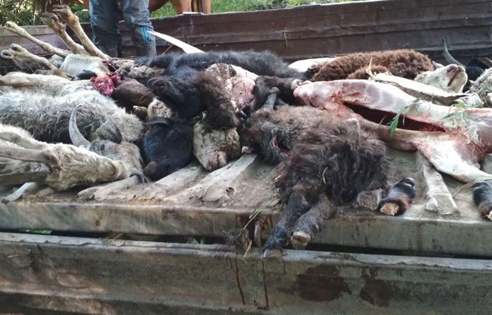 Туши животных захоронили в специальных ямах в 6 км от села Кутургу.