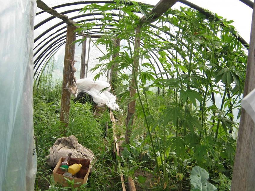 Конопли до 10 кустов не растет марихуана